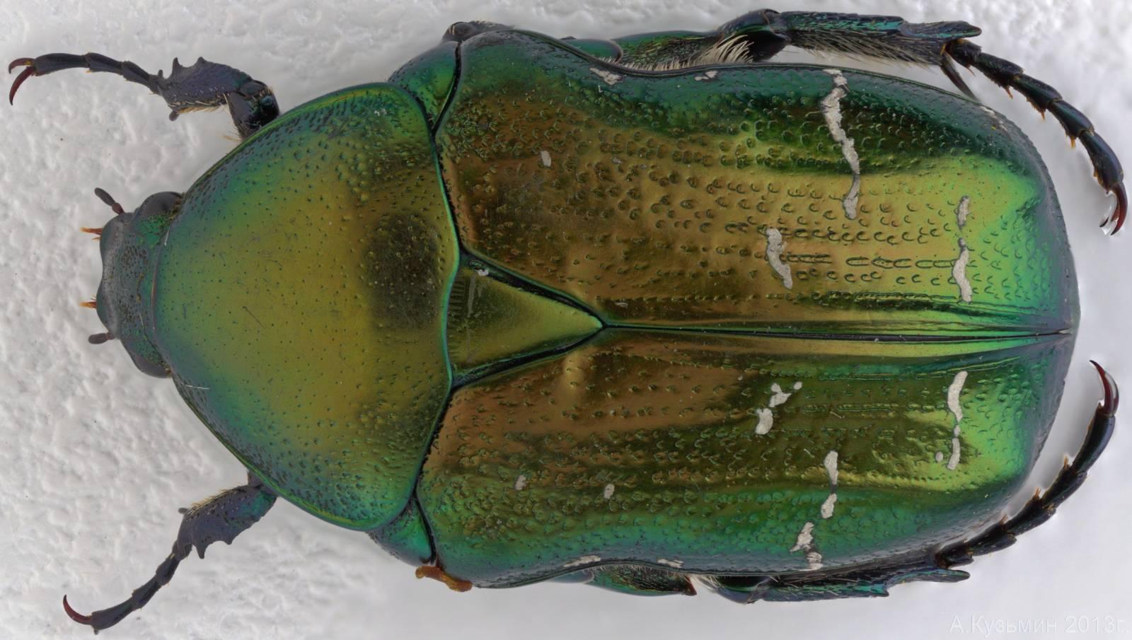 Бронзовка золотая или обыкновенная (Cetonia aurata)