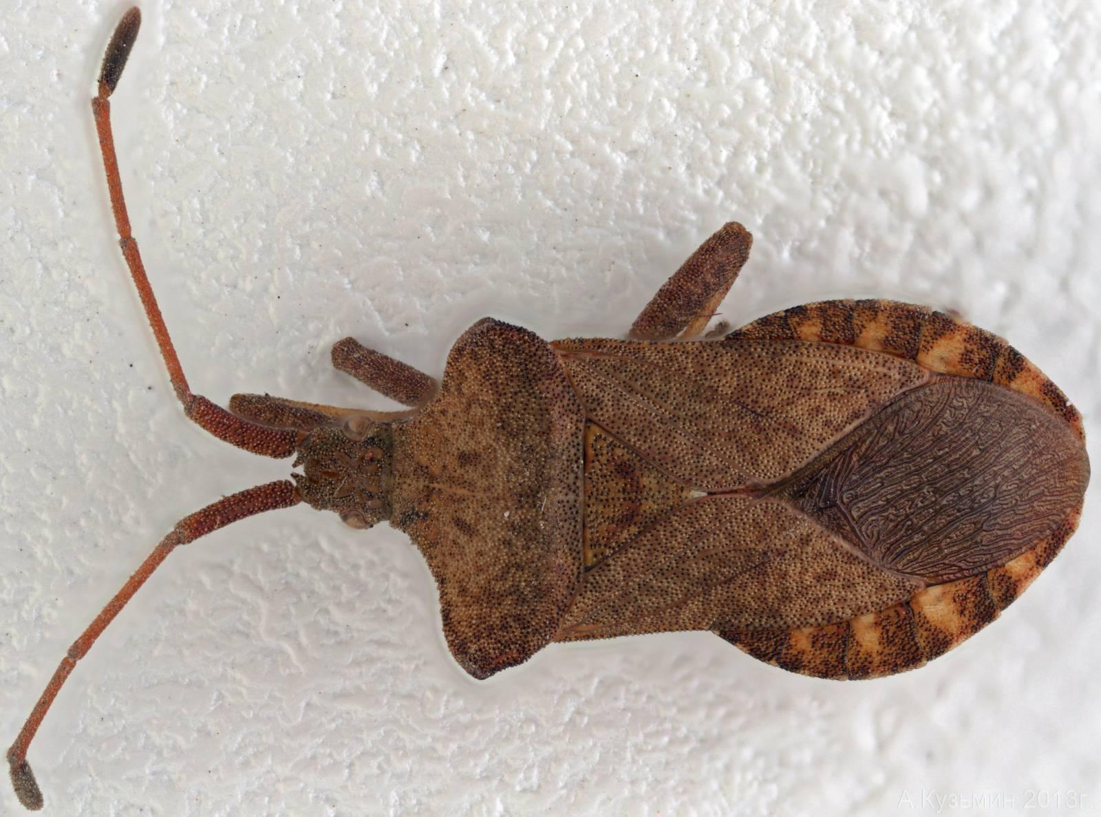 Краевик окаймлённый, или щавелевый (Coreus marginatus)