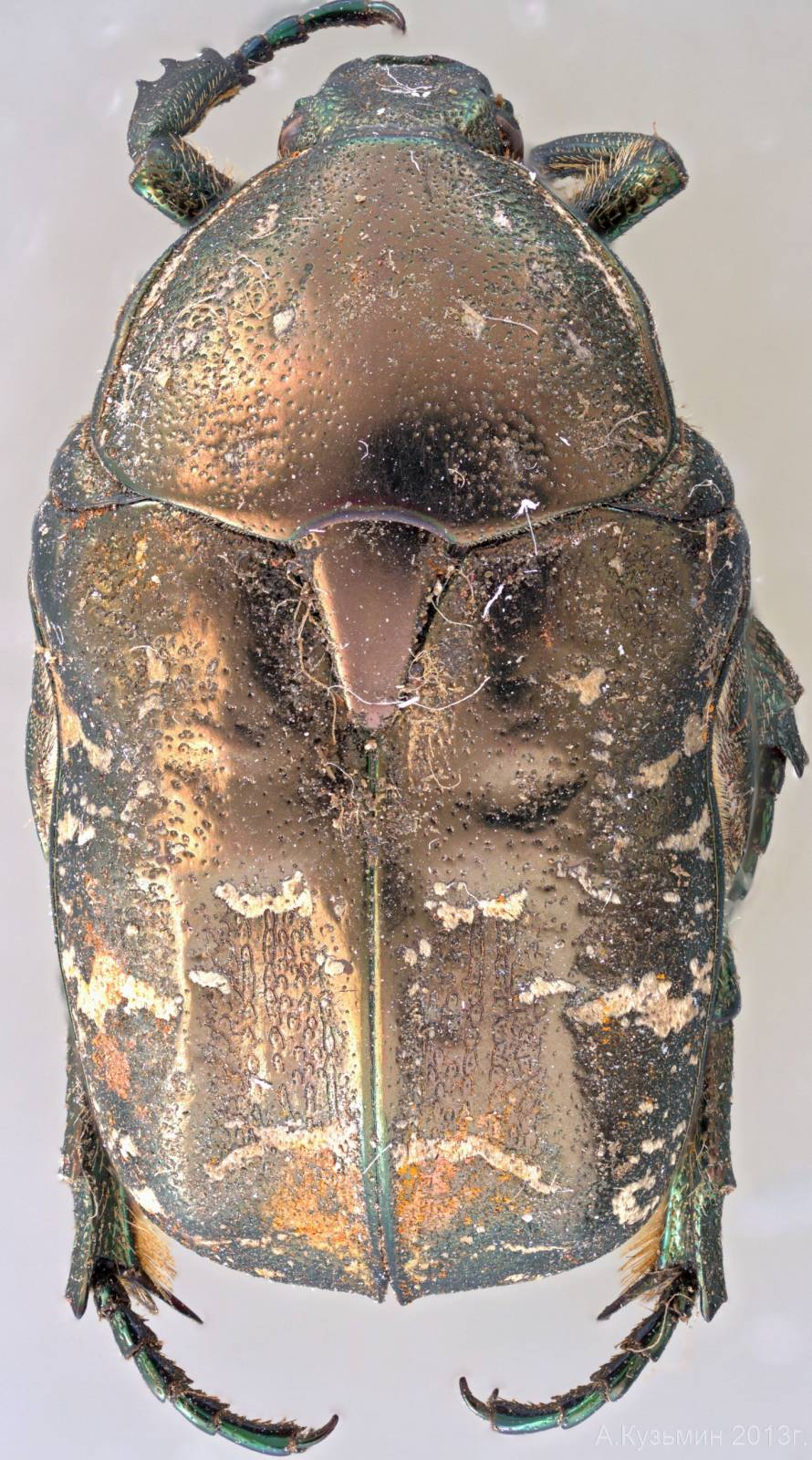Бронзовка Protaetia cuprina