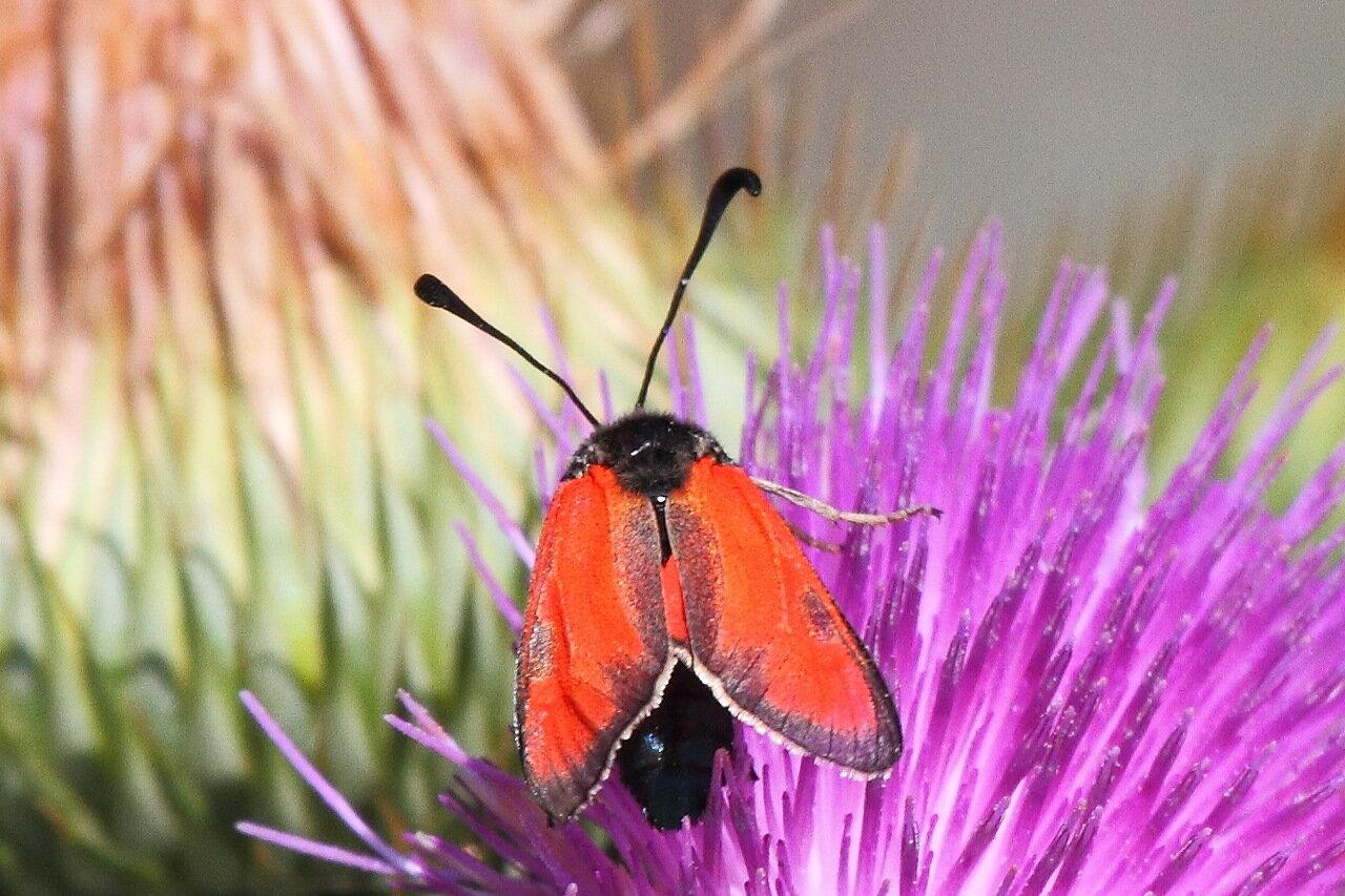 Пестрянка пурпурная (Zygaena purpuralis)