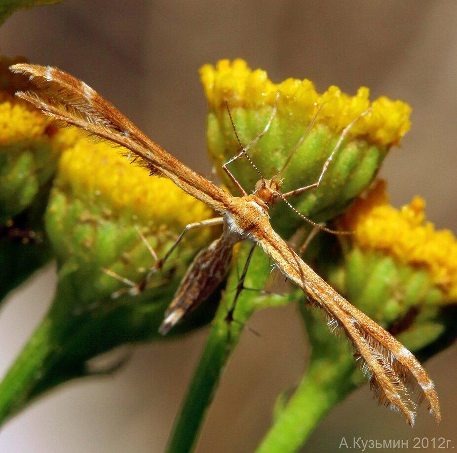 Пальцекрылка печальная (Oxyptilus tristis)