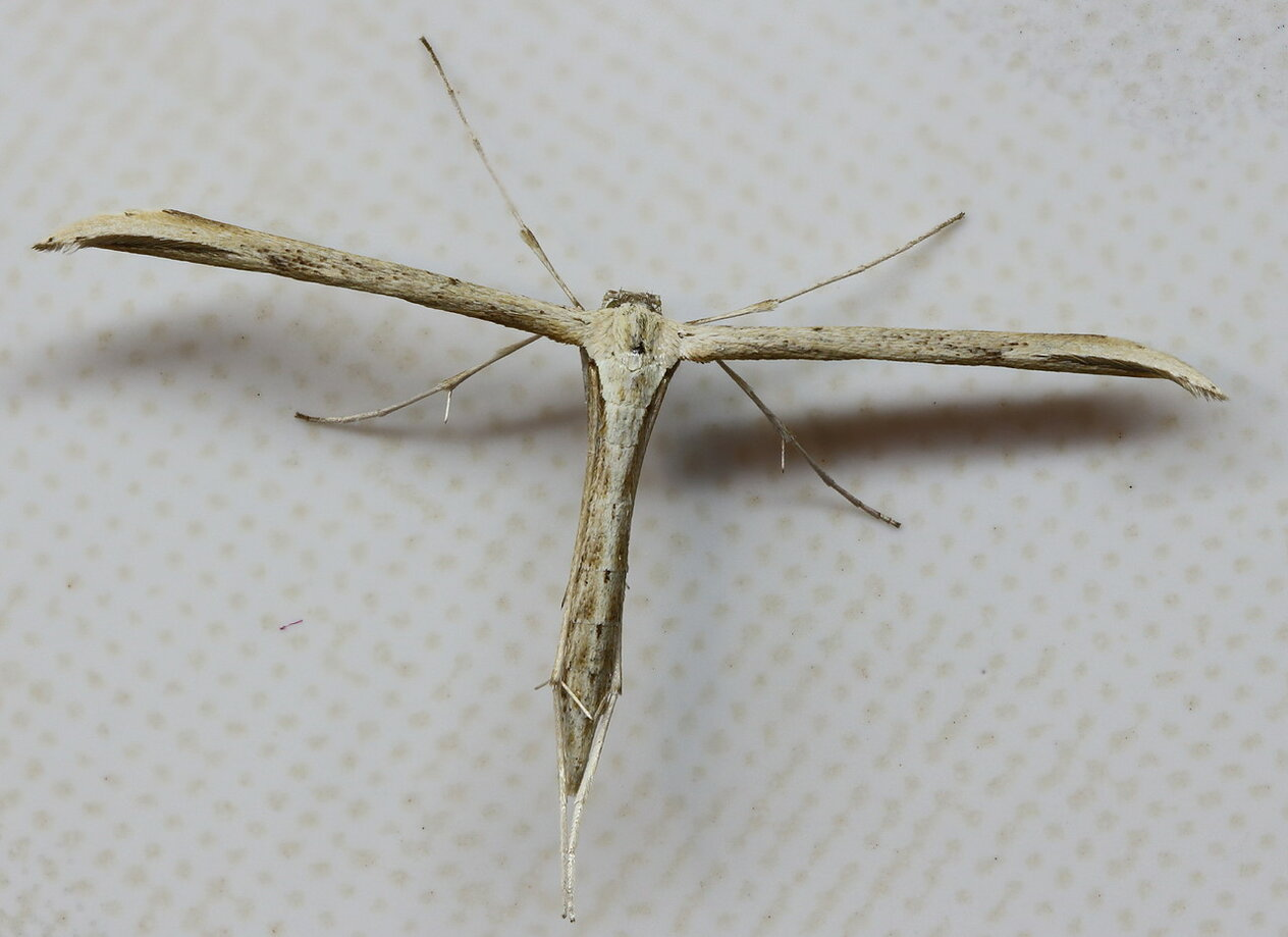 Пальцекрылка однокрылая (Emmelina monodactyla)