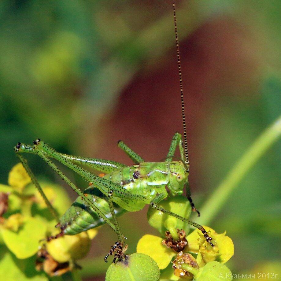 Пластинохвост обыкновенный (Leptophyes albovittata)