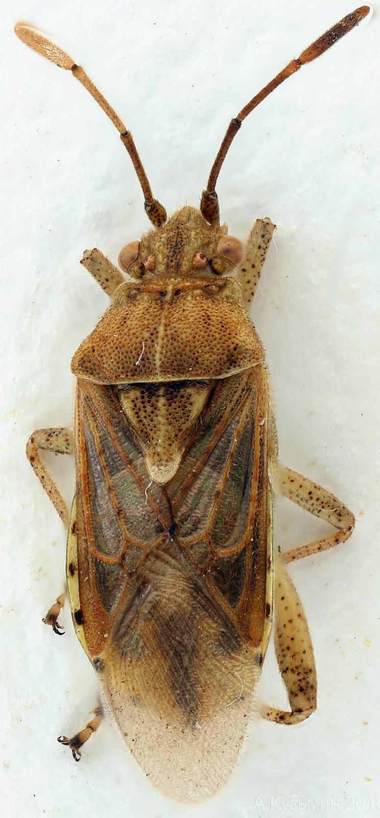 Булавник Stictopleurus sp.